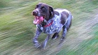 Yamaha Grizzly 700 Chases German Shorthaired Pointers!