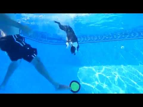 Diving Boston Terrier Swims to Bottom of Pool for Frisbee