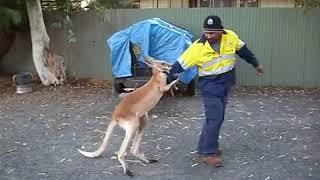 Kangur bije człowieka z buta !