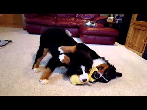 Mother and Daughter Bernese Mt. Dog Playing Tug