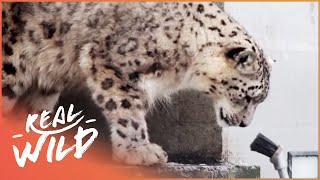Snow Leopards Playing With Humans | Wild Things thumbnail