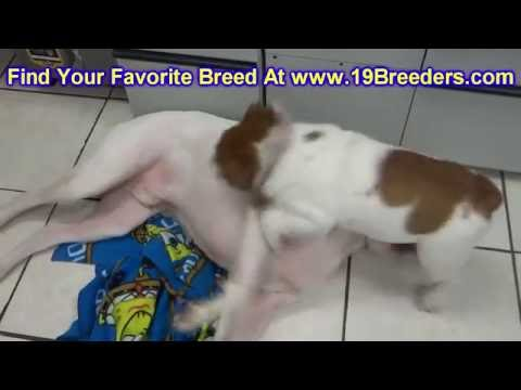 Bull Pei, Puppies, Dogs, For Sale, In Saint Louis, County, Missouri, MO, 19Breeders, Columbia