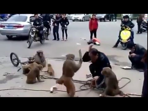 funny monkey biting men in the funny show on the road