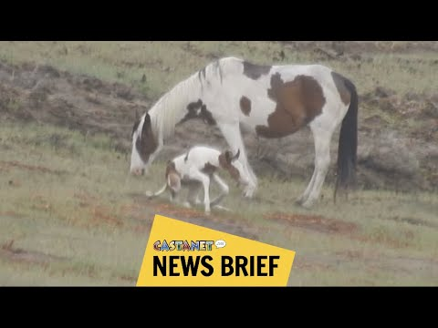 Baby Horse Takes First Steps