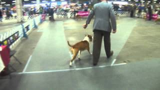 American Staffordshire Terrier - Bob Competition - Evansville Kennel Club, March 2012 - Louisville