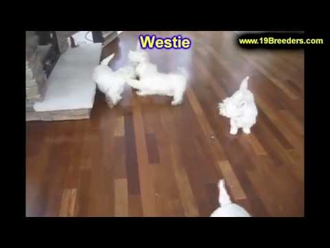 West Highland White Terrier, Puppies For Sale, In Concord, County, North Carolina, NC, 19Breeders