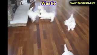 West Highland Terrier, Puppies For Sale, In Atlanta, Georgia, Ga,