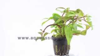 An Aquarium Plant For Backgrounds - Alternanthera Reineckii
