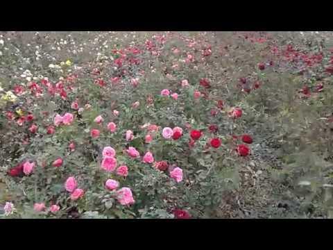 саженцы роз на весну 2019 ,