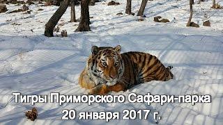 Тигры Приморского Сафари-парка 20 января 2017 г.