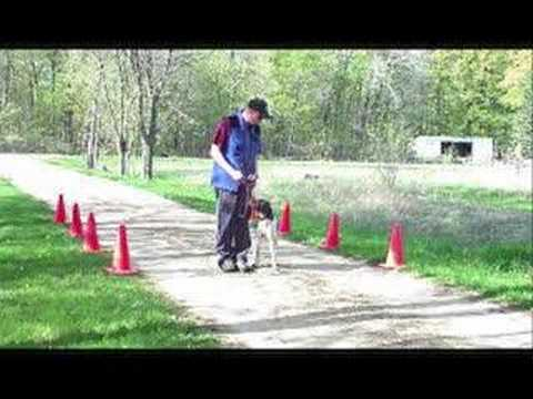 Smokey – Obedience trained German Shorthair Pointer
