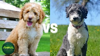 Labradoodle vs Aussiedoodle - Which Poodle Mix Breeds Is Better?
