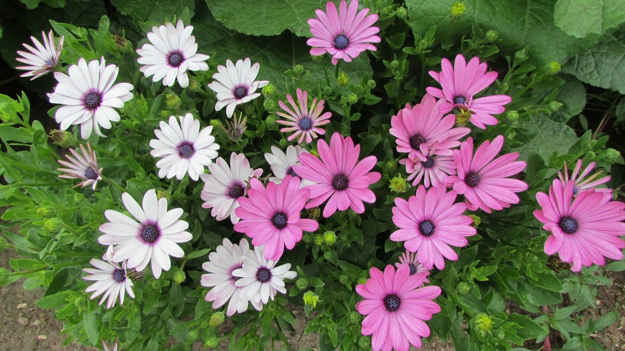 Выращивание Остеоспермума от посева до цветения