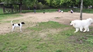 高速SAのドックランで マンガのような超大型犬に遭遇 ある猟犬がちょ...