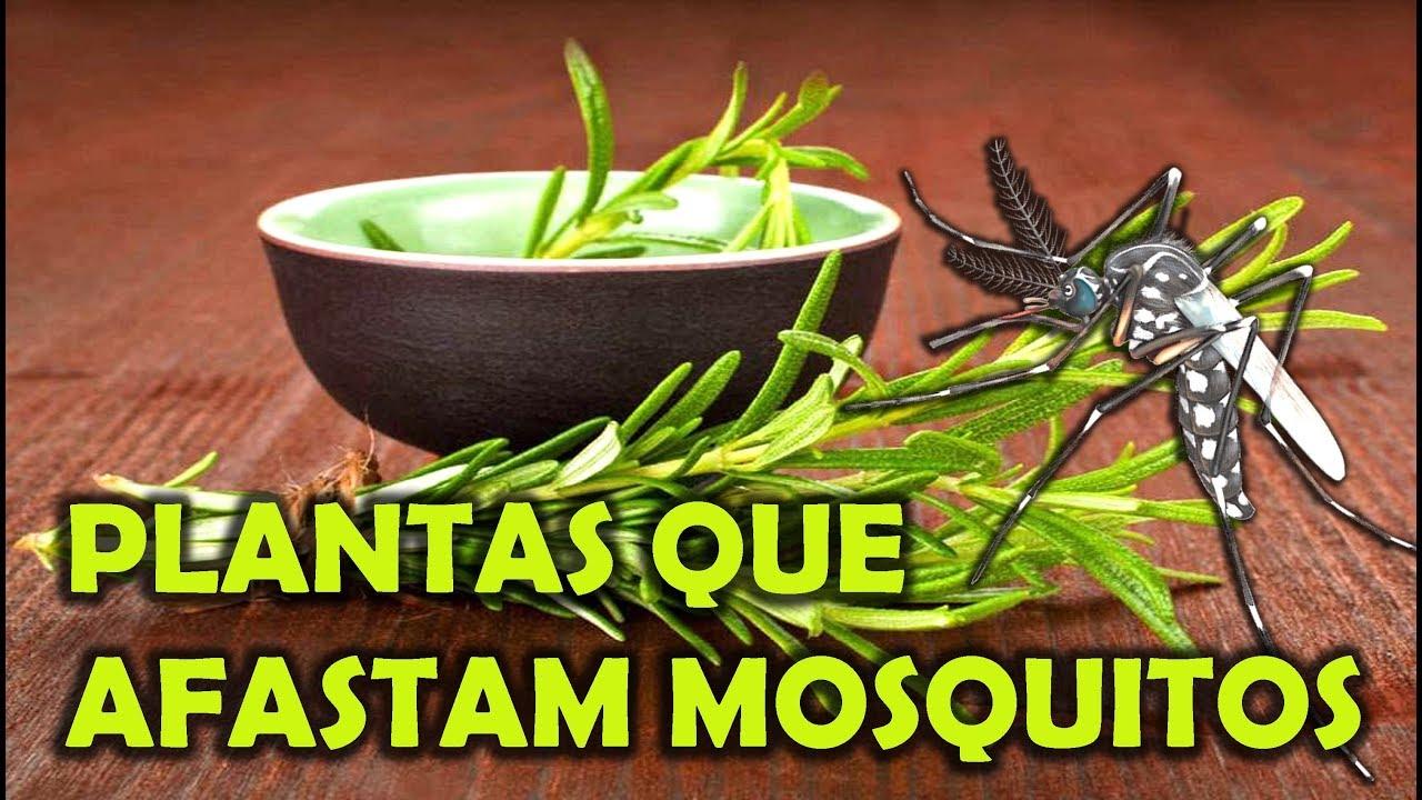 Plantas que afastam mosquitos youtube - Plantas ahuyenta mosquitos ...