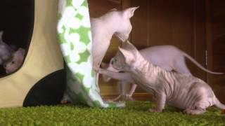 Маргаритка - котенок канадского сфинкса...