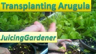 Transplanting Arugula (Rocket) Seedlings For Massive Growth