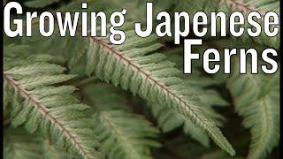 Growing Japanese Ferns