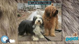 Bearded Collie  Everything Dog Breeds