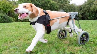 Beagle With Broken Back Uses Wheels To Walk