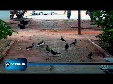 Pombos tomam conta de praças públicas e incomodam a população