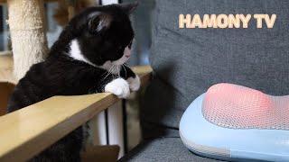 안마기가 신기한 고양이 포도와 캣타워에서 구경하는 얌전…