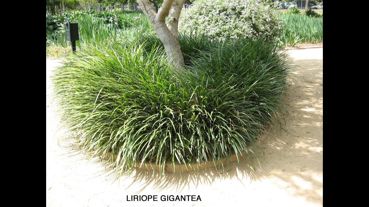 Liriope Gigantea Giant Lily Turf Youtube