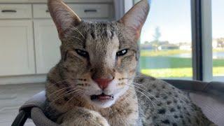 Loudest Extreme Purring Cat! #cute #cat #purr
