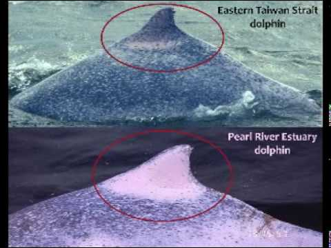 Taiwan's critically endangered pink dolphins in 2010