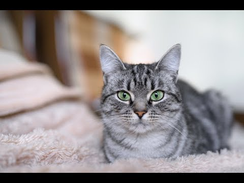 American Shorthair Cat Breed Information, Pictures, Appearance & Facts