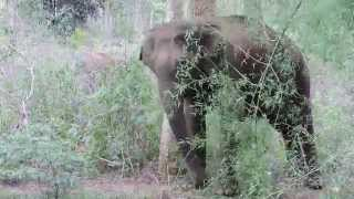 Elephant and calf at Sathyamangalam Tiger Reserve