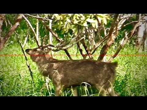 Hunting Rusa deer in New Caledonia part 4