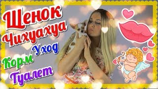 Щенок Собаки Породы Чихуахуа 2 месяца Купили Чем кормить Чихуа хуа Туалет Прививки Уход Чихуашка пёс