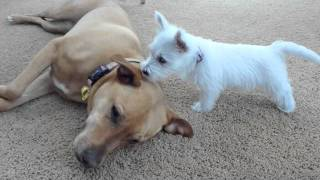 West Highland Terrier Puppy Meets Larger Dogs.