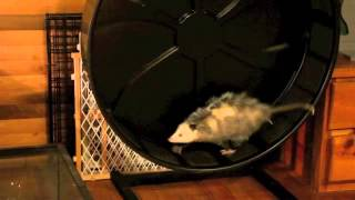 Opossum running on wheel