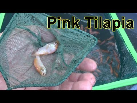 Starting A Tilapia Fish Farm, Pink Tilapia.