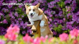 Goro On Wooden Horse / 木馬に乗るコーギー 20140509 Goro@welsh Corgi