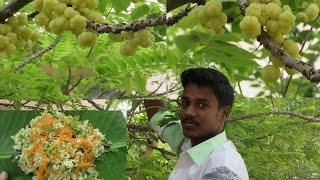 FARM FRESH Star Gooseberry Rice Cooking in My Village | VILLAGE FOOD