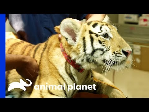 Tiger On The Loose! | The Vet Life: Extreme Animal Encounters