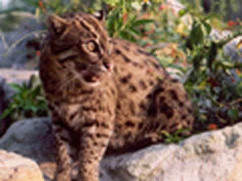 FISHING CAT Species Spotlight - Big Cat TV