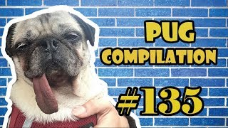 NEW ! Pug Compilation 135  Funny Dogs but only Pug Videos | Instapug