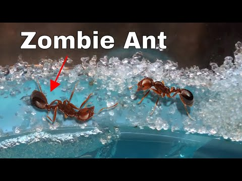 How I Made an Ant Think It Was Dead鈥擳he Zombie Ant Experiment