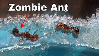 How I Made an Ant Think It Was Dead-The Zombie Ant Experiment