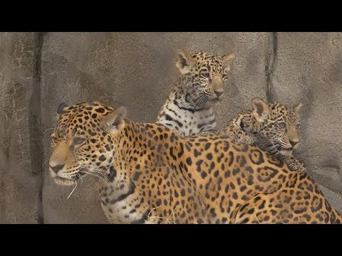 Houston Zoo Debuts Baby Jaguars For First Time in Over a Decade