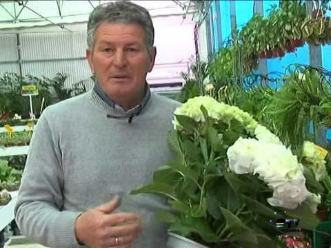 El jardinero en casa hortensias youtube for Jardinero en casa