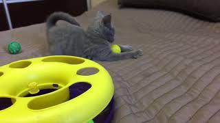Русская голубая кошка. Русские голубые котята. Питомник Ruzara