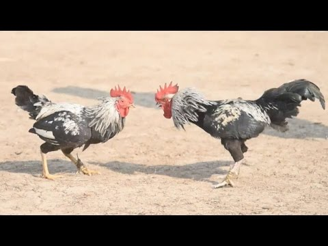 Traditional cockfight a highlight in Indian festival