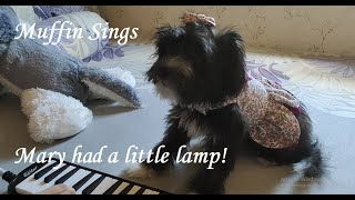 Muffin Song No 3   Mary Had A Little Lamb | Singing Dog | Shih Tzu Sings | Talented Dog