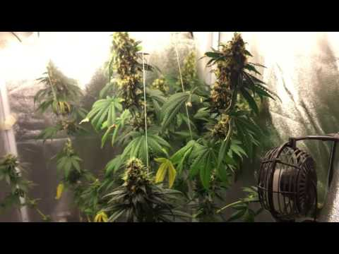 Cfl Grow Tent Week 7 Flowering Durban Widow