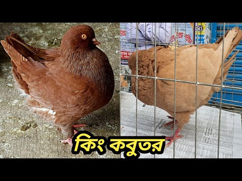 Amazing Exotic Fancy Pigeon Market In Mirpur | King Pigeon ...